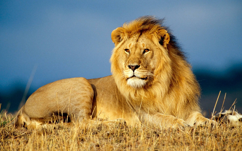 Совместимость Козерога и Льва в отношениях