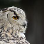 eagle-owl-3445567_1280